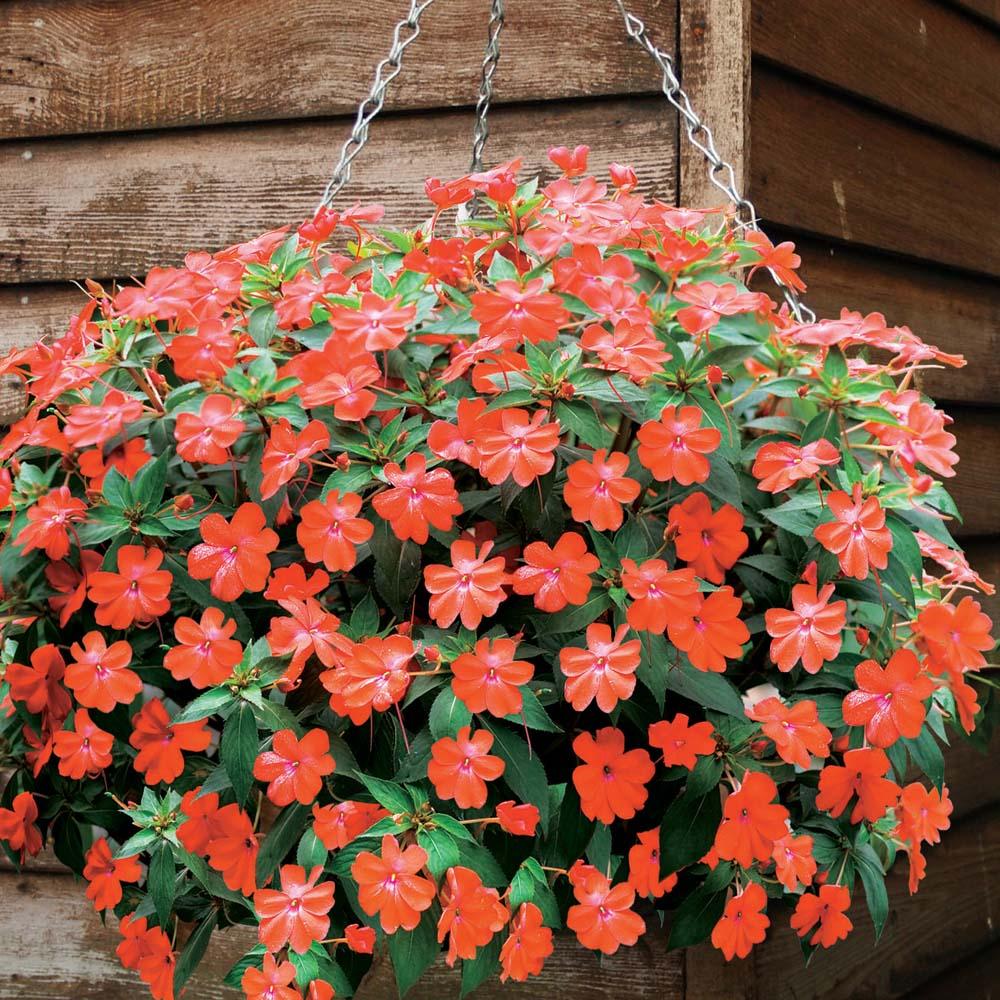 Busy Lizzie Sunpatiens Volcano™ 5 jumbo plants