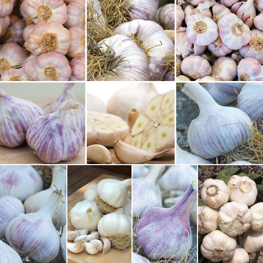 Garlic : Grow All Your Own Collection 10 bulbs + 5 cloves