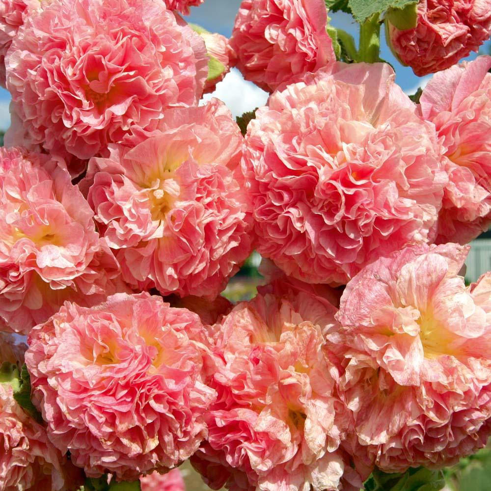 Hollyhock Peaches 'N' Dreams'® 6 plants in 5cm pots