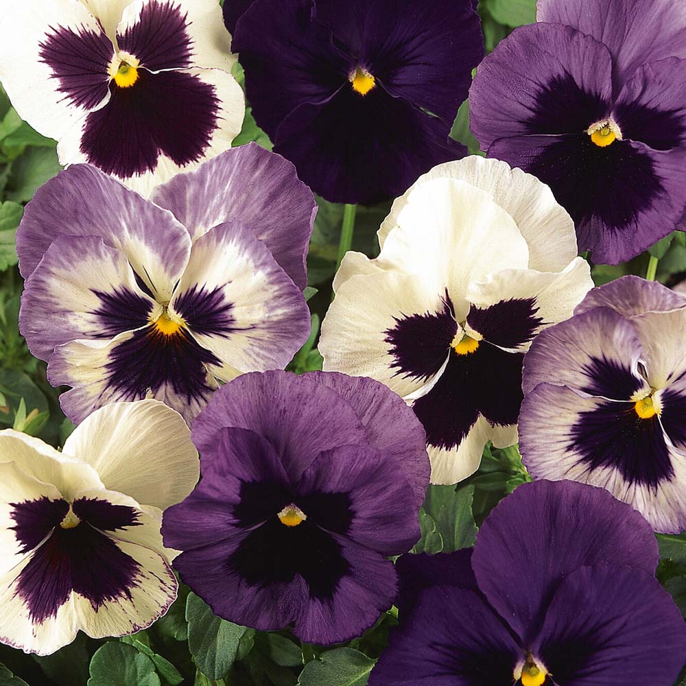 Pansy Blueberries & Cream Mixed 42 jumbo plug plants