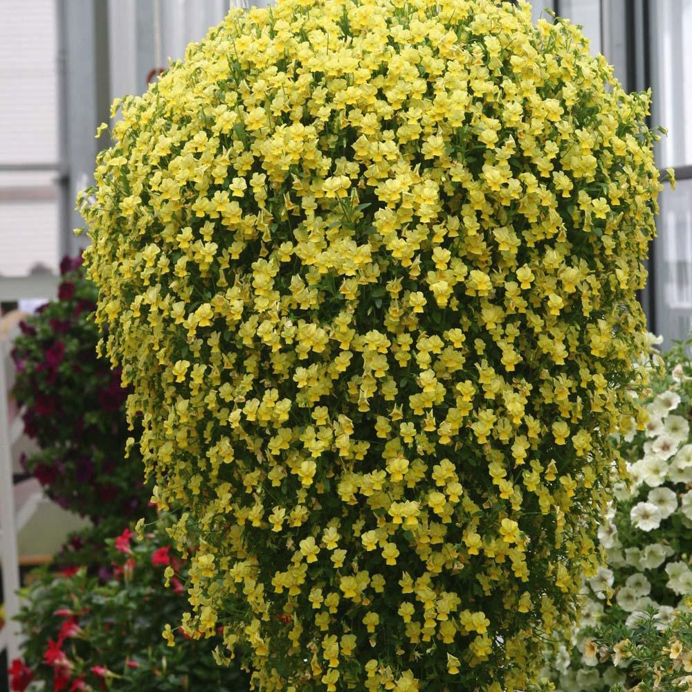 Pansy Friolina Gold 10 jumbo plants