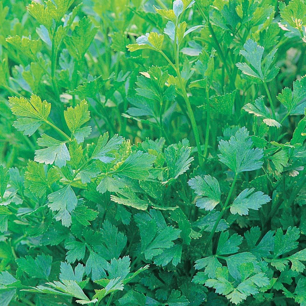 Parsley : Flat Leaved 10 plants