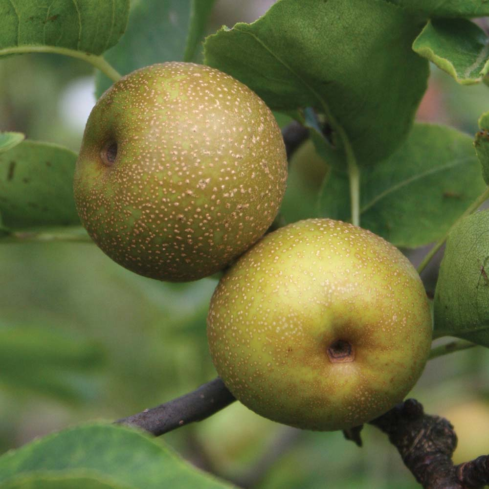 Pear : Nashi Pear (Asian Pear) 1 tree