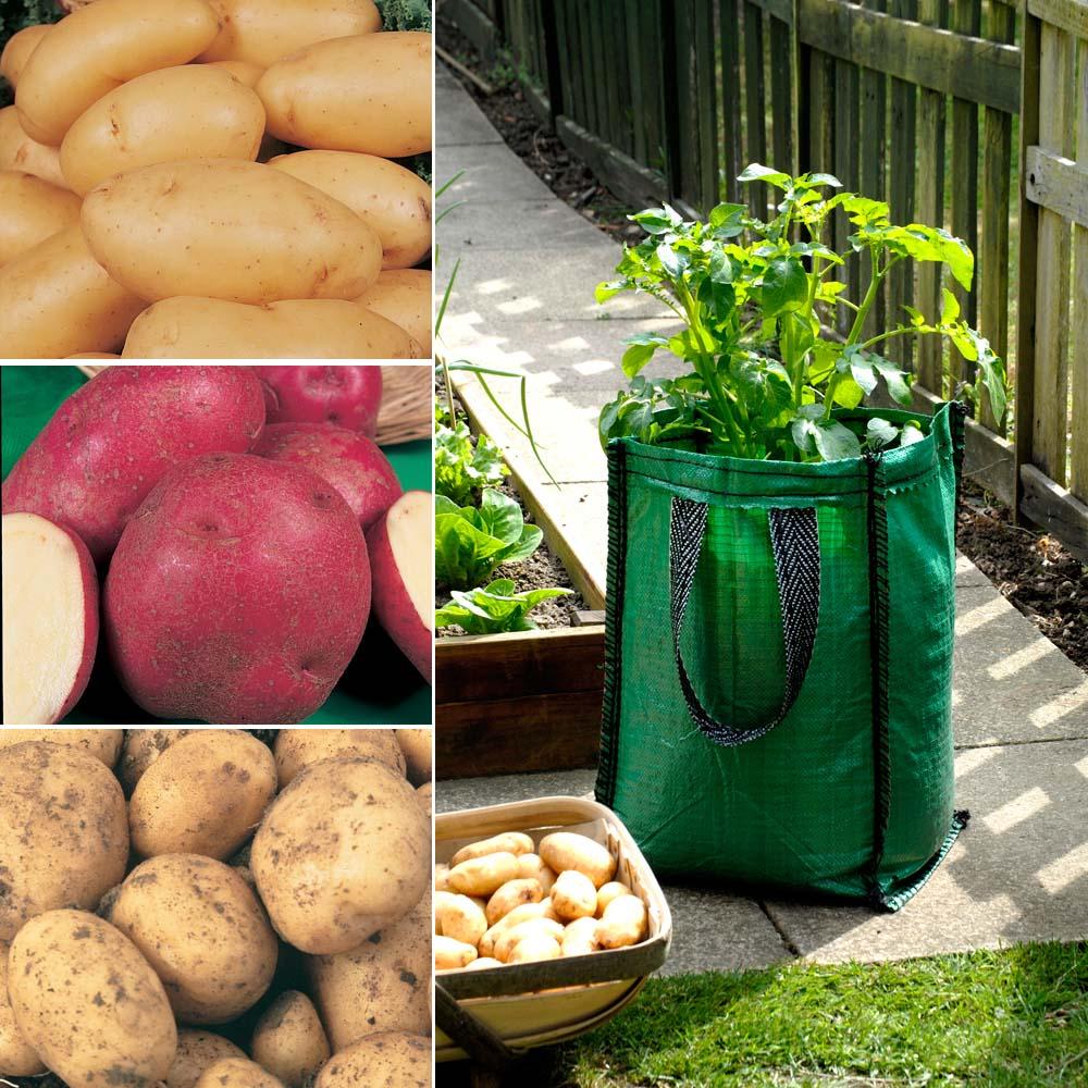 Potato : Patio Kit 3 patio planters + 15 tubers - 5 of each variety