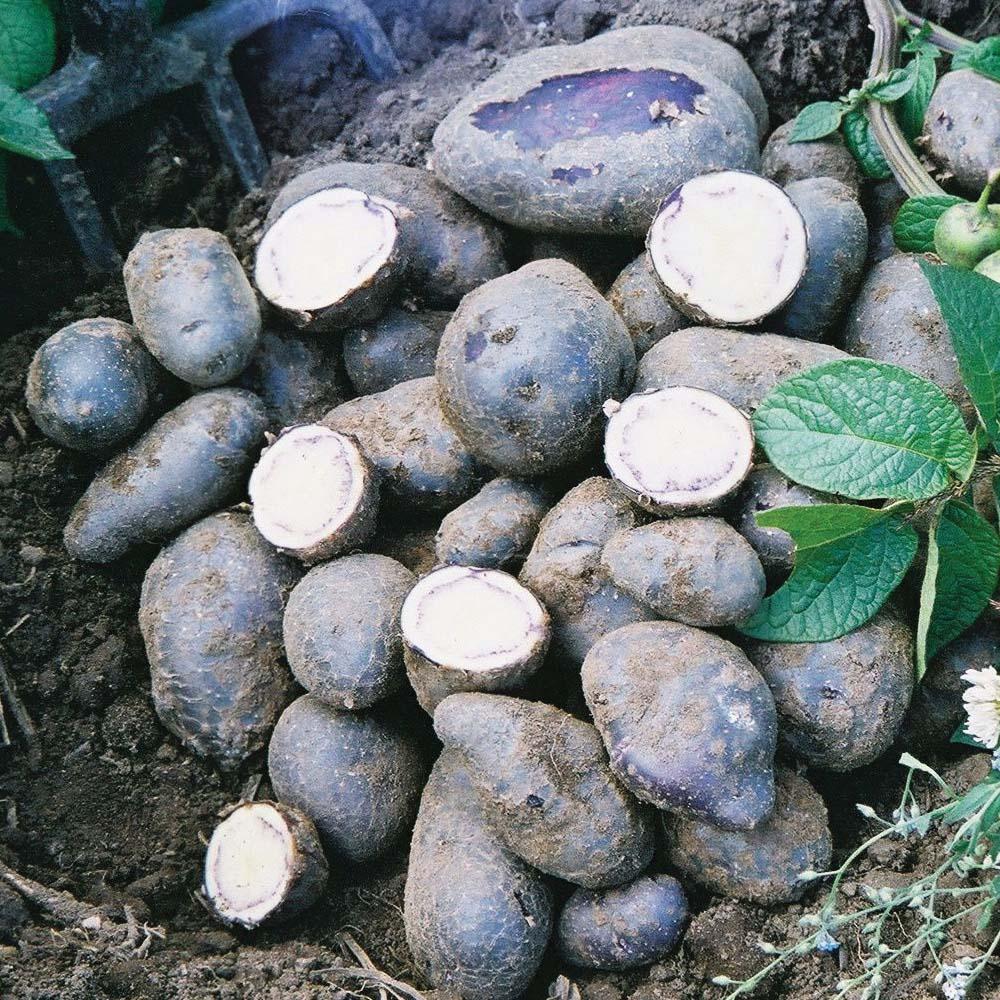 Potato : Minituber : Shetland Black 5 tubers