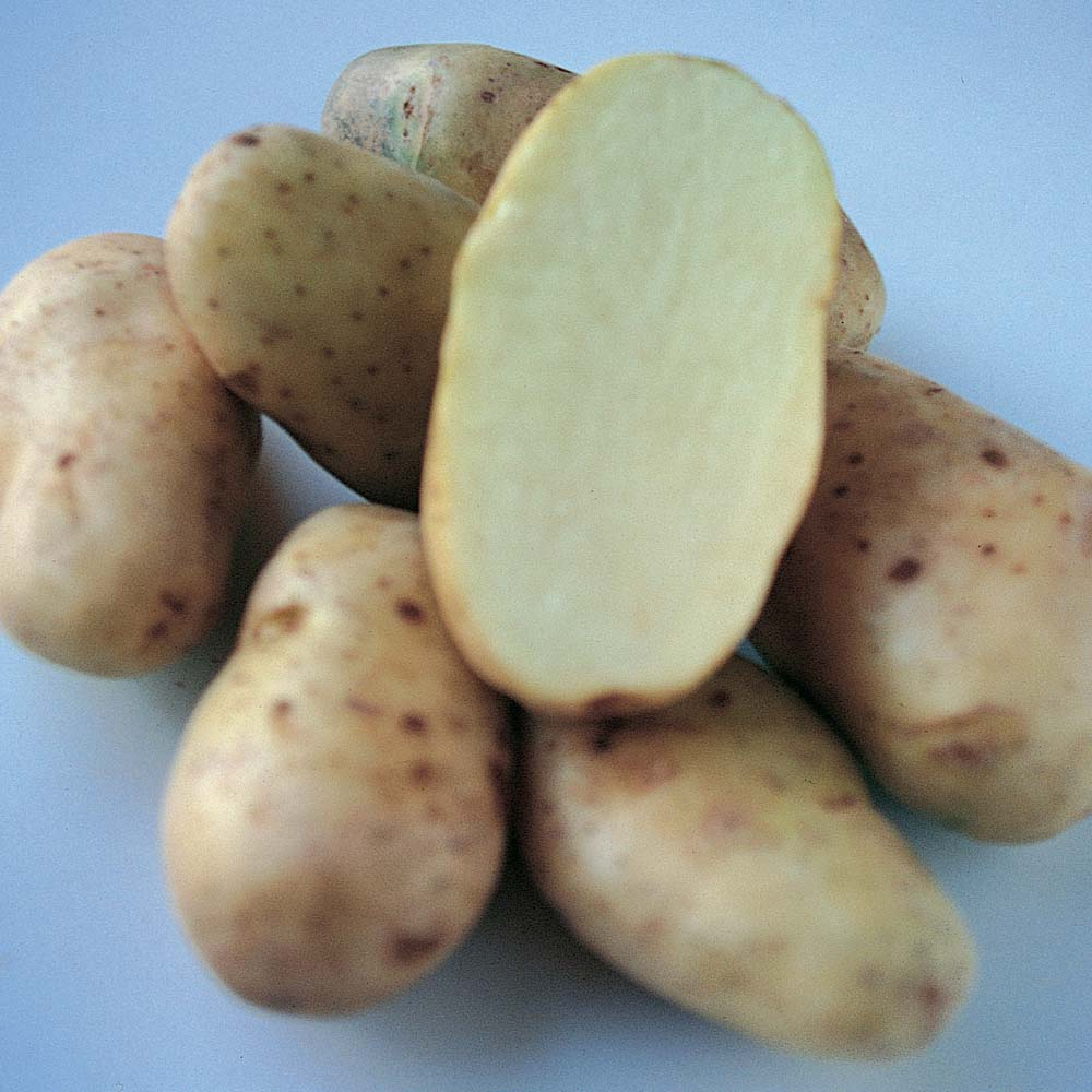 Potato : Sharpes Express 20 tuber pack
