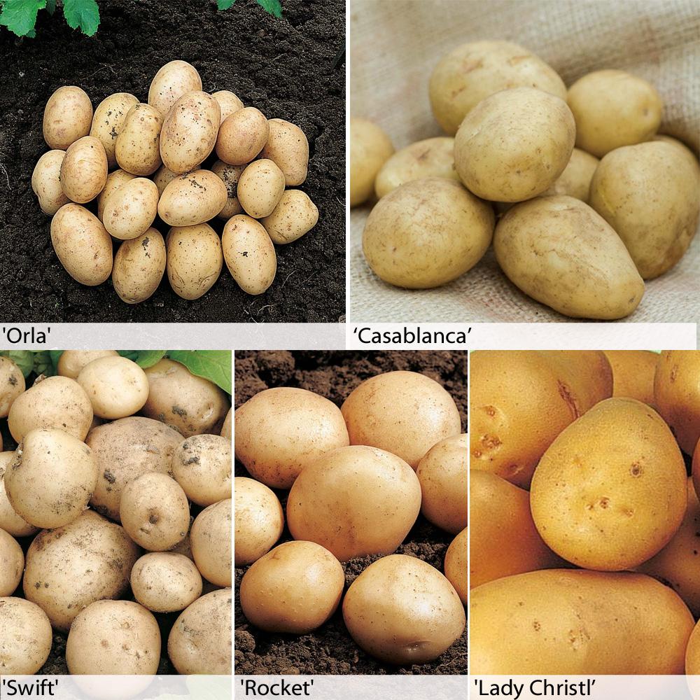 Potato : Baby New Potato Collection 6 x 5 tuber packs