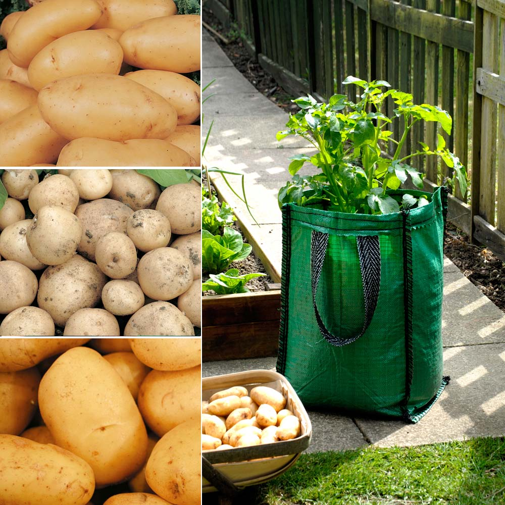 Potato : Patio Planters Collection 3 patio planters + 15 tubers - 5 of each variety