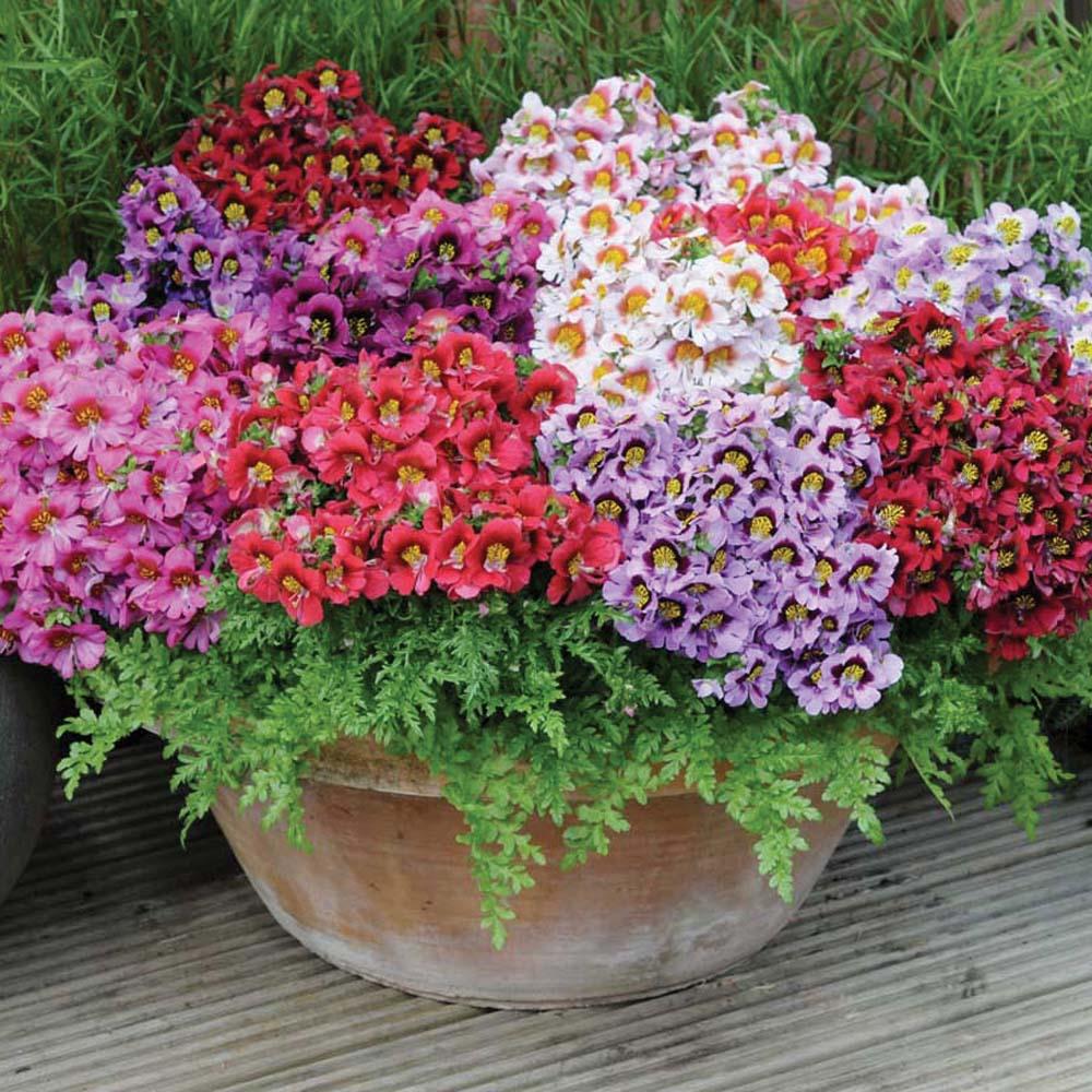 Schizanthus Kaleidoscope™ 20 plug plants + 25% free