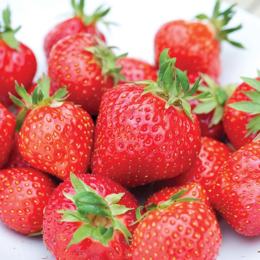 Strawberry : Irresistible (Em1294) 20 bareroot plants + 10 free