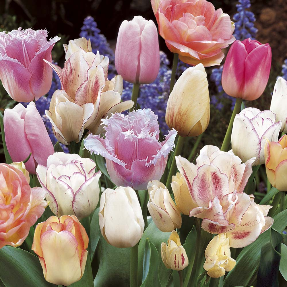 Tulip Pink Passion Blend 72 bulbs