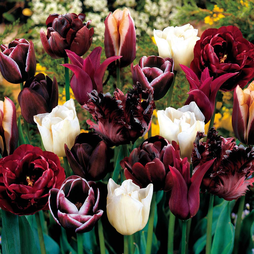 Tulip Mysterious Passion Blend 72 bulbs