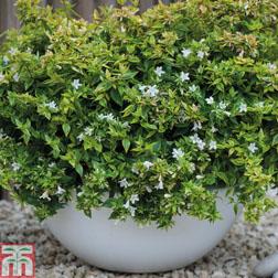 Image of Abelia x grandiflora 'Kaleidoscope' - 1 x 8cm potted abelia plant