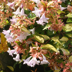 Image of Abelia x grandiflora 'Francis Mason' (Large Plant) - 1 x 10 litre potted abelia plant