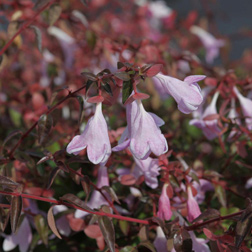 Image of Abelia 'Pinky Bells' (Large Plant) - 1 x 3.6 litre potted abelia plant