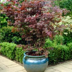 Acer palmatum 'Atropurpureum' - 1 plant in 9cm pot