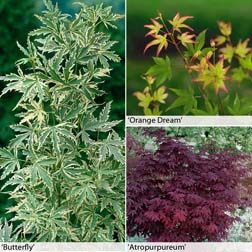 Acer palmatum Collection  3 x 10.5cm potted acer plants  1 of each variety