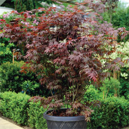 Acer palmatum (Large Plant)  1 x 3.5 litre potted acer plant