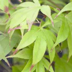 Acer palmatum Osakazuki Seedling  1 x 7cm potted acer plant