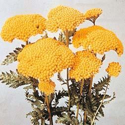 Achillea filipendulina 'Cloth of Gold' - 1 packet (500 seeds)