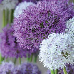 Alliums 'Big Impact' Mixed - 60 bulbs
