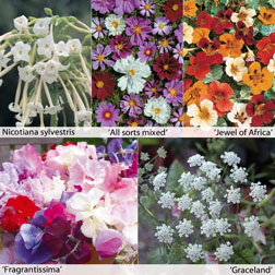 Annual Flower Border Seed Collection (Tall) 5 varieties 1 packet of each (2260 seeds in total)