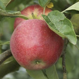 Apple 'Tydemans Early Worcester' - 1 tree