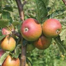 Apple 'Tydemans Late Orange' - 1 tree