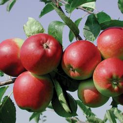 Apple 'Park Farm Pippin' - 1 tree