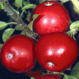 Apple 'Michaelmas Red' - 1 tree