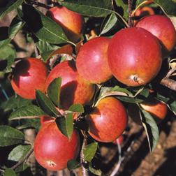 Apple 'Meridian' - 1 tree
