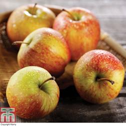 Apple Braeburn  1 root wrap apple tree
