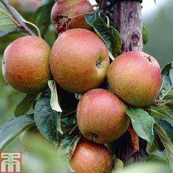 Apple Coxs Orange Pippin  1 root wrap apple tree