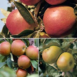 Apple Britain's Favourites Collection - 3 trees - 1 of each variety