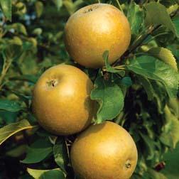 Apple Egremont Russet  1 root wrap apple tree