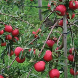 Apple Red Falstaff  1 root wrap apple tree