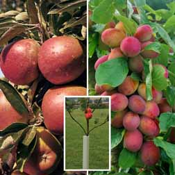 Apple & Plum Tree Collection - 2 trees - 1 of each variety + 2 tree guards