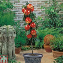 Apple Gala (Mini Fruit Tree)  1 x 9cm potted apple plant