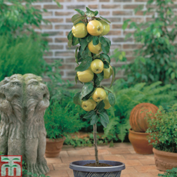 Apple Golden Delicious (Mini Fruit Tree)  1 x 9cm potted apple plant