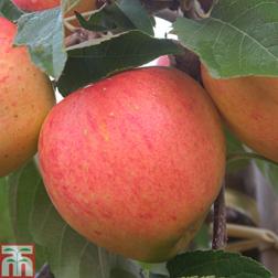 Apple James Grieve  1 root wrap apple tree
