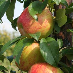 Apple 'Isaac Newton' - 1 root wrap tree