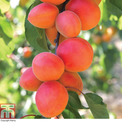 Apricot Flavourcot&reg  1 feathered maiden apricot tree