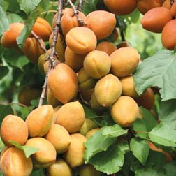Apricot 'Petit Muscat' - 1 tree