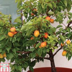 Apricot Aprigold&reg (patio)  1 patio apricot tree