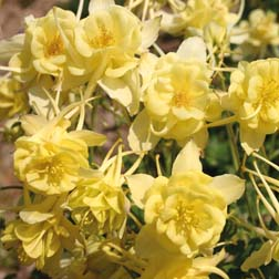 Aquilegia caerulea 'Sunshine' - 1 packet (80 seeds)