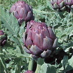 Globe Artichoke 'Concerto' F1 Hybrid - 5 plants