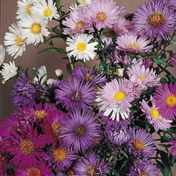 Aster Composition - 1 packet (60 seeds)