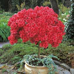 Azalea Japanese Red  1 standard azalea plant (6080cm tall)