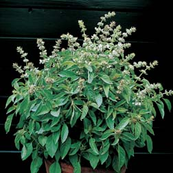 Basil 'Lime' - 1 packet (400 seeds)