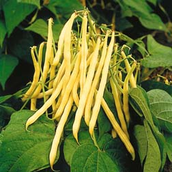 Dwarf Bean `Golden Teepee` 1 packet (75 dwarf bean seeds)